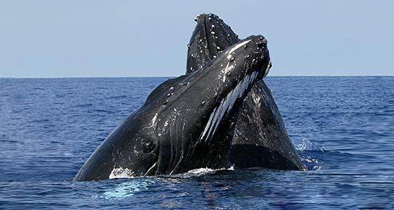 Whale-Watching-Samana